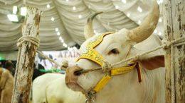 Cow market 2020 karachi
