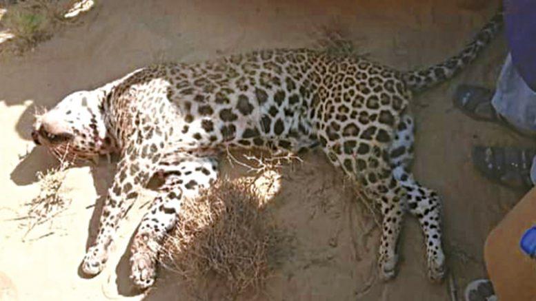 Thari Villagers Killed a Cheetah