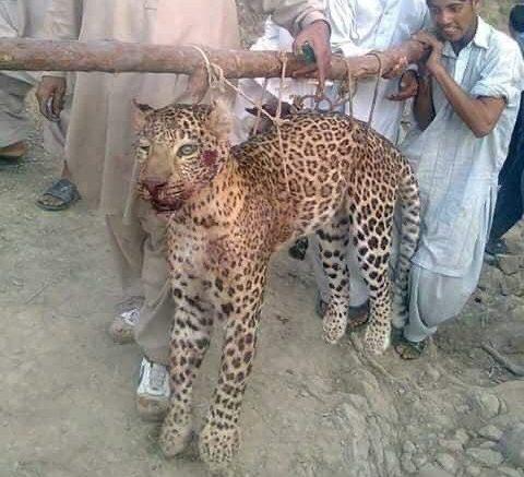 Mob kills a leopard in Samani sector Bhimber Pakistan