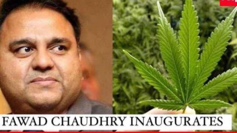 bhang bhang plant in pakistan